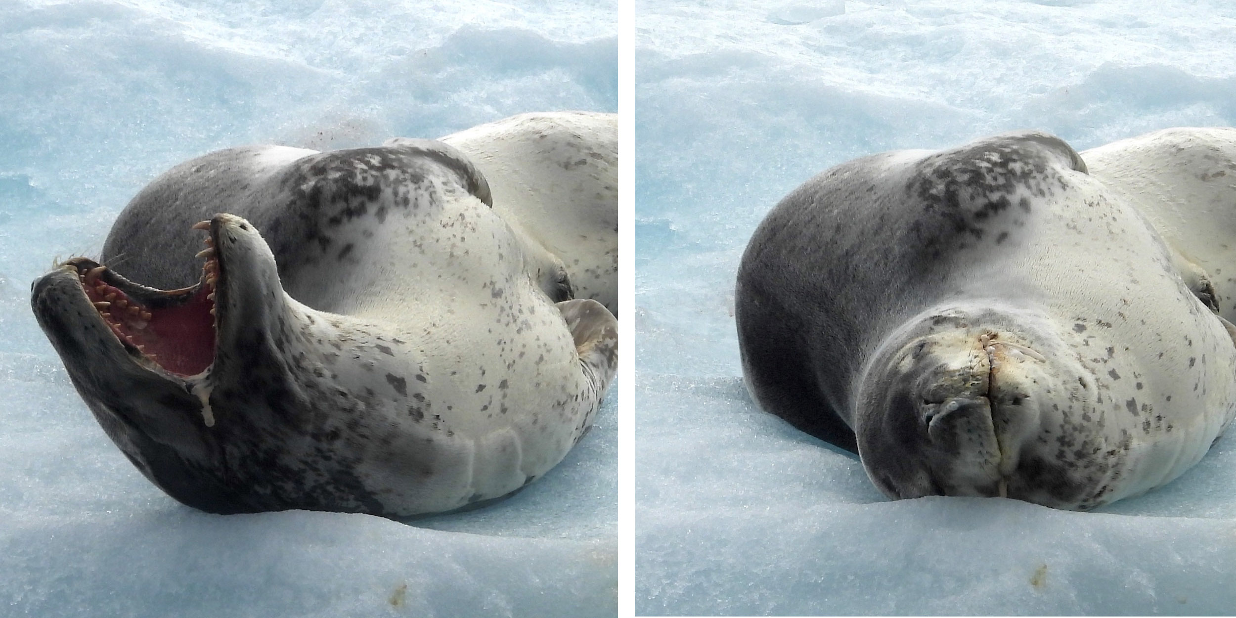 Leopard seal dozing and yawning